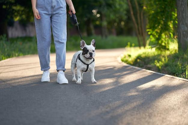 Französische bulldogge, die im park an der leine geht