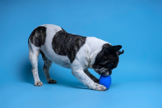 Französische bulldogge, die mit spielzeug spielt