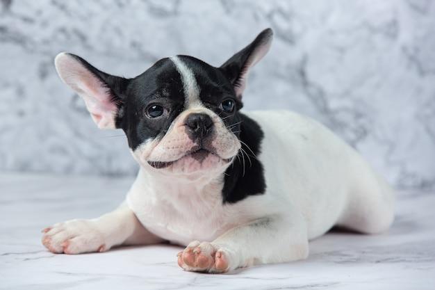 Französische bulldogge hunderassen weiß polka dot schwarz auf marmor.