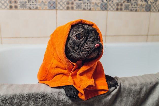 Französische bulldogge im pflegesalon mit bad.