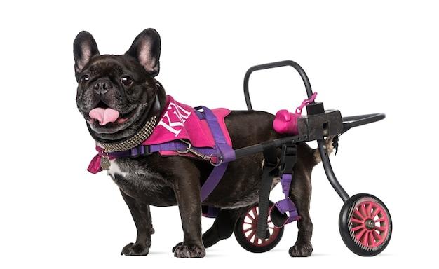 Französische bulldogge im rollstuhl