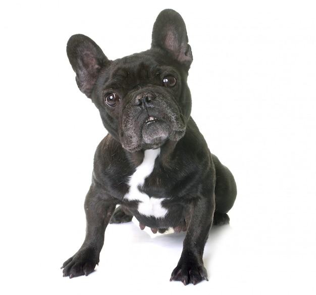Französische bulldogge im studio