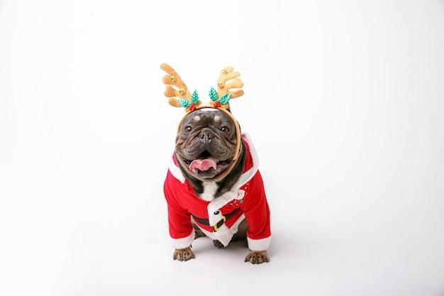 Französische bulldogge im weihnachtsrenkostüm lokalisiert auf weißem hintergrund