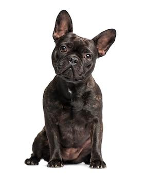 Französische bulldogge lokalisiert auf weiß