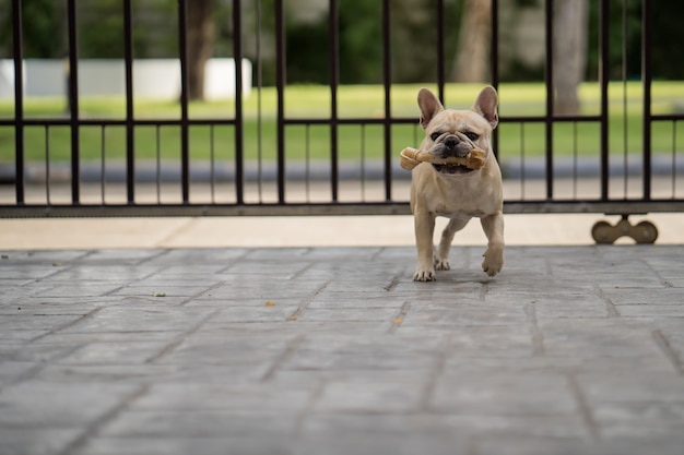 Französische bulldogge mit dem rohhautknochen in seinem mund