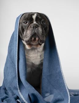 Französische bulldogge mit einem tuch über seinem kopf