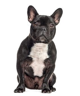 Französische bulldogge sitzend, lokalisiert auf weiß