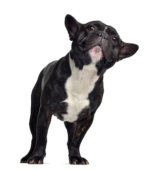 Französische bulldogge, stehend und schauend, isoliert o