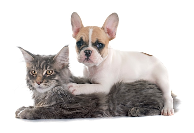 Französische bulldogge und katze des welpen