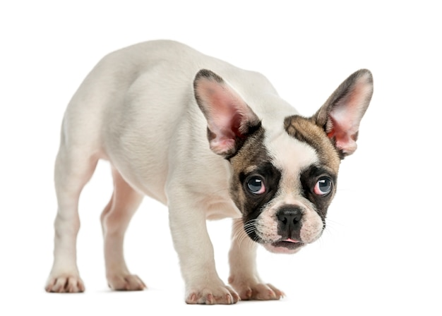 Französische bulldogge vor einer weißen wand