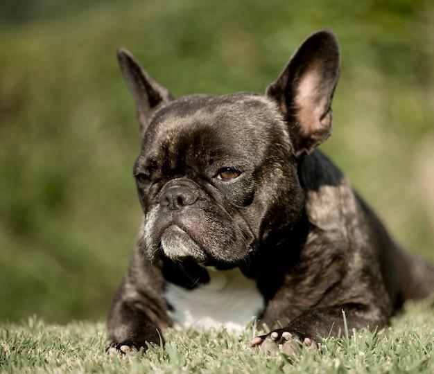 Französische bulldogge vorne auf verschwommener grüner natur