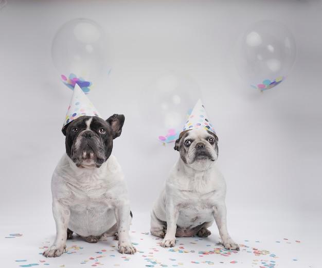 Französische bulldogge zwei, die geburtstag mit ballonen und konfettis feiert