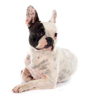 Französische bulldogge
