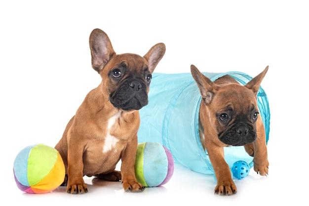 Französische bulldoggen isoliert auf weiß