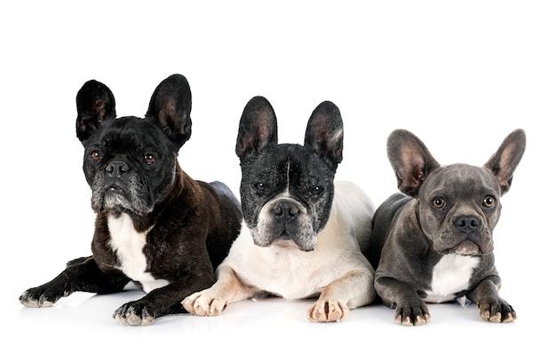 Französische bulldoggen vor weißem hintergrund