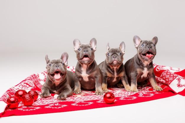Französische bulldoggenwelpen mit weihnachtsdecke und kugeln