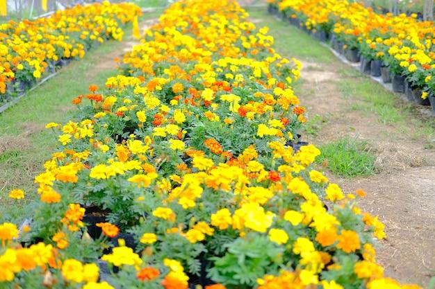 Französische ringelblumenblume beim wachsen in der pflanzenfarm. anbau von blumen