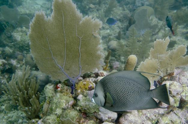 Französischer angelfish (pomacanthus paru) unter wasser schwimmend, utila-insel, bucht-inseln, honduras