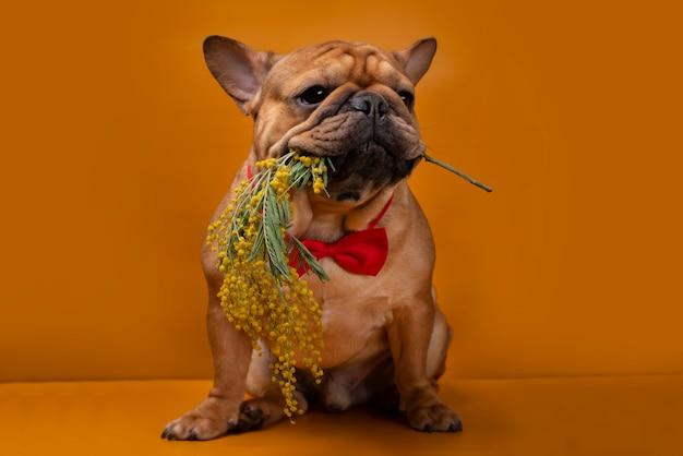 Französischer bulldoggenhund mit mimosenblumen auf einem gelben isolierten hintergrund