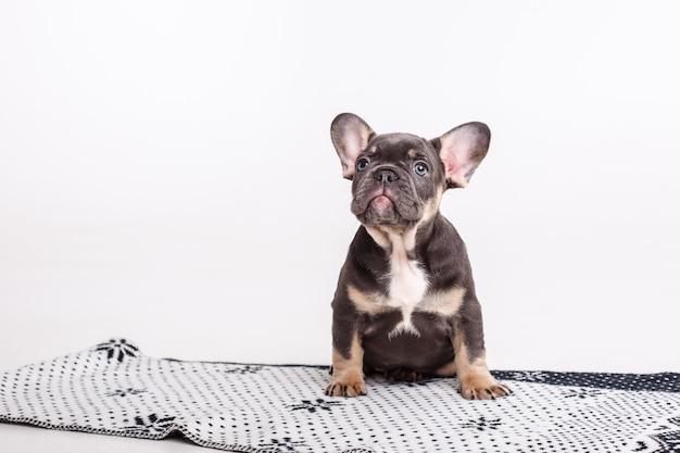 Französischer bulldoggenwelpe auf decke lokalisiert auf weiß
