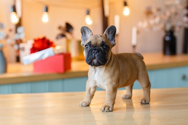 Französischer bulldoggenwelpe, der auf dem küchentisch sitzt