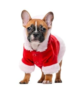 Französischer bulldoggenwelpe, der einen weihnachtsmannmantel vor einer weißen wand trägt