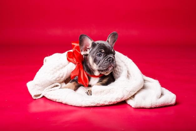 Französischer bulldoggenwelpe, eingewickelt in plaid, isoliert auf rot