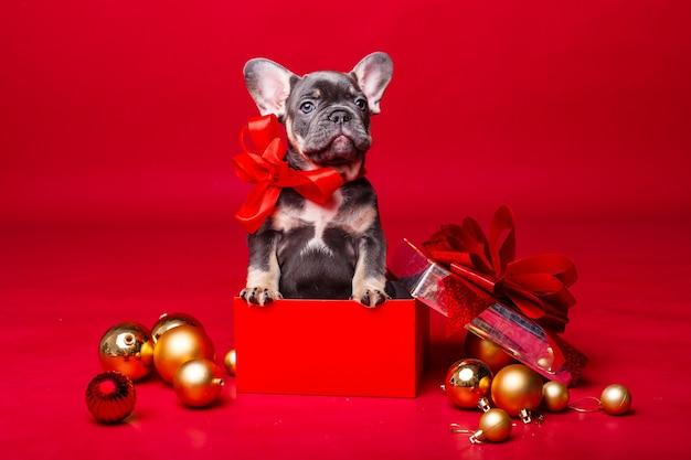 Französischer bulldoggenwelpe in geschenkbox mit weihnachtskugeln lokalisiert auf rot