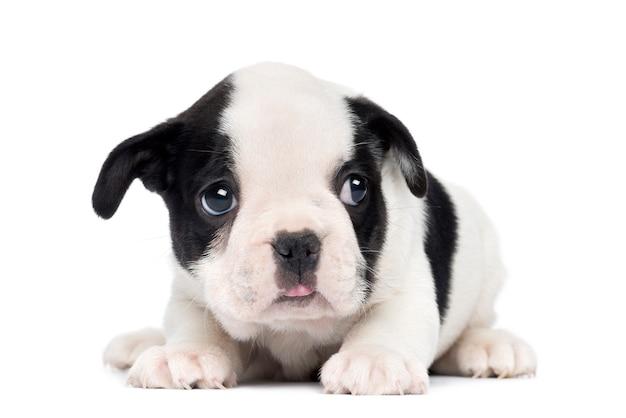Französischer bulldoggenwelpe, lokalisiert auf weiß