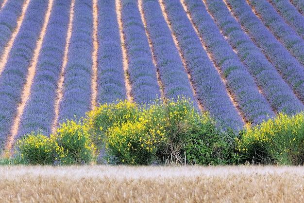 Französisches lavendelfeld