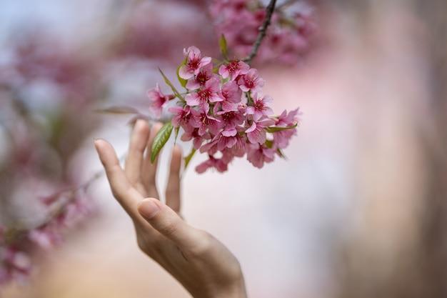 Frau berührt schönen rosa zweig der kirschblüten-blumen (thailändische kirschblüte) mit der hand