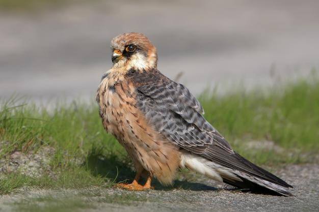 Frau des rotfüßigen falcon sitzt auf dem boden