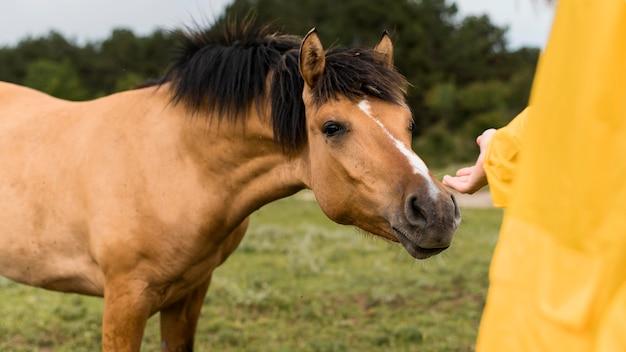 Frau, die ein wildes pferd berühren will
