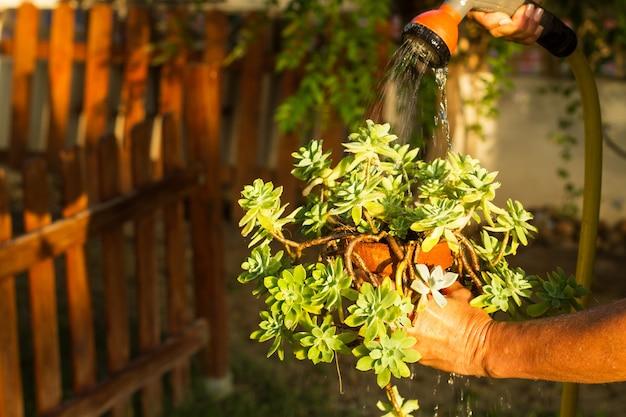 Frau, die eine saftige pflanze im garten an einem sonnigen nachmittag wässert