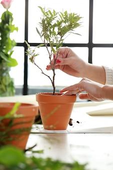 Frau, die einen kleinen baum innerhalb des hauses pflanzt