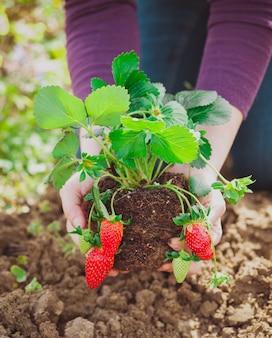 Frau, die erdbeeranlage pflanzt