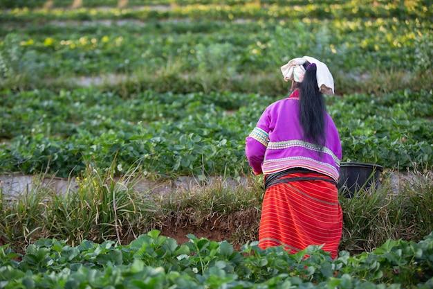 Frau, die erdbeeren auf der farm auswählt