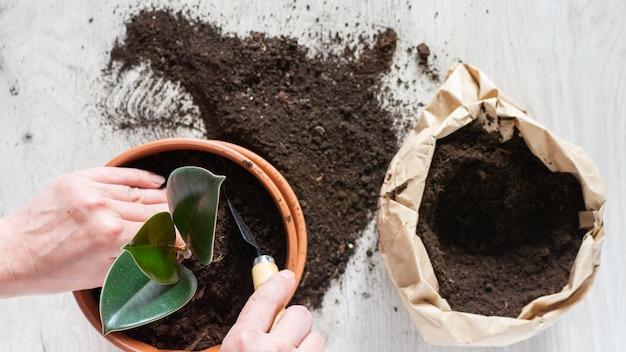 Frau, die ficus-blume in einen neuen braunen tontopf umpflanzt, die zimmerpflanzentransplantation zu hause