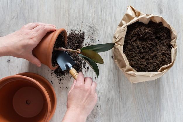 Frau, die ficusblume in einem neuen braunen tontopf neu pflanzt, die zimmerpflanzentransplantation zu hause