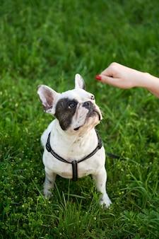 Frau, die französische bulldogge auf garss füttert