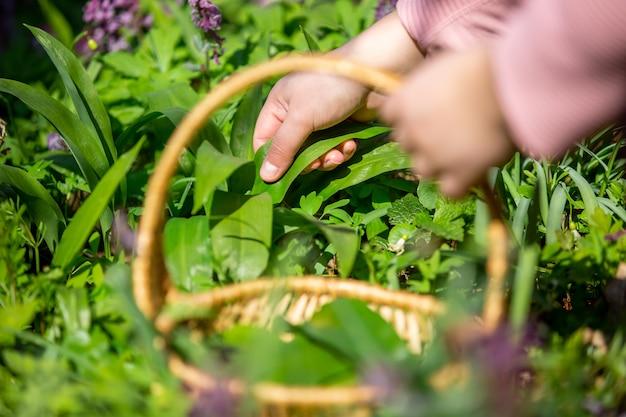 Frau, die frischen bärenknoblauch im wald, bärlauch, kräuterkunde, nahrungsmittelkonzept sammelt