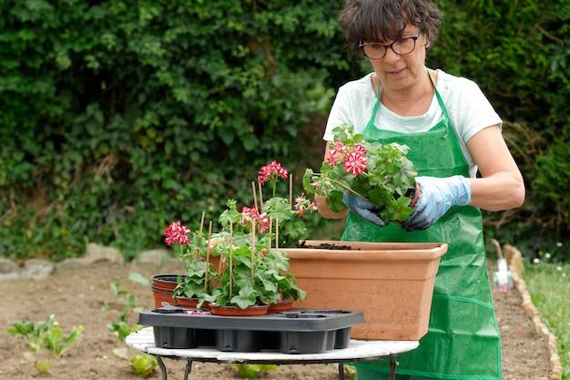 Frau, die geranienblumen vergießt
