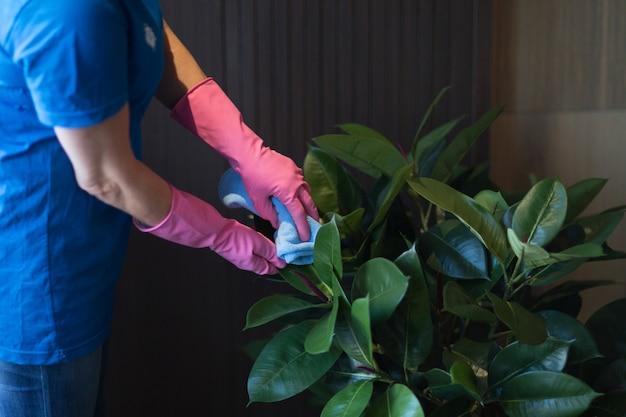 Frau, die grüne blätter der hausgartenpflanze reinigt. pflege von pflanzen.