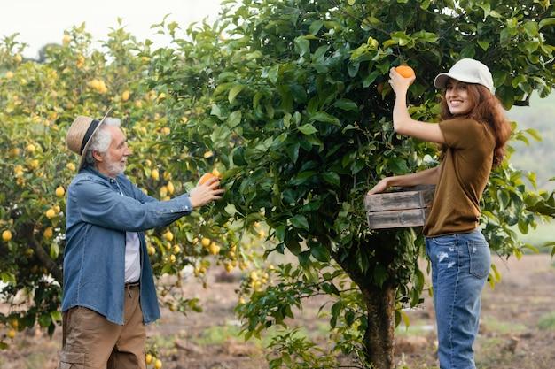Frau, die ihrem vater hilft, einige orangen von den bäumen im garten zu bekommen