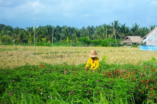 Frau, die in einer tropischen plantage von reis oder blumen erntet.