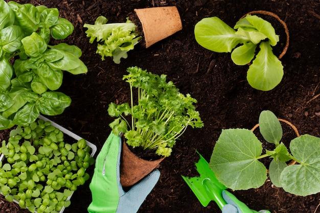 Frau, die junge sämlinge des salatsalats im gemüsegarten pflanzt