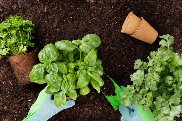 Frau, die junge sämlinge des salatsalats im gemüsegarten pflanzt.