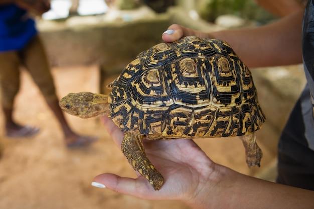 Frau, die kleine schildkröte in ihren händen hält