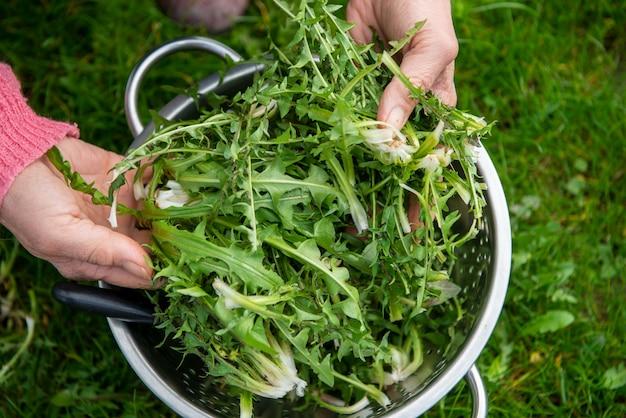 Frau, die löwenzahn für salat pflückt