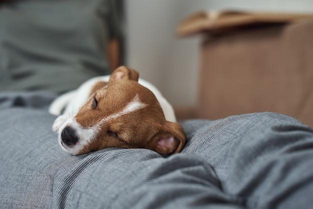 Frau, die mit ihrem jack russell terrier hündchen auf sofa entspannt